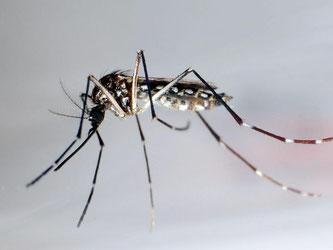 Der Moskito «Aedes aegypti» oder auch «Stegomyia aegypti». Foto: Gustavo Amador