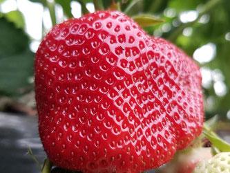 Gesund und lecker: So sollen die Erdbeeren im Frühling aussehen. Foto: Patrick Seeger/dpa
