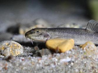Ein Höhlenfisch schwimmt in einem Aquarium. Foto: Felix Kästle/Archiv