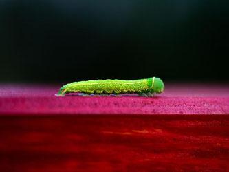 Eine grüne Raupe bewegt sich über die Rückenlehne einer roten Parkbank. Foto: Arno Burgi/Archiv
