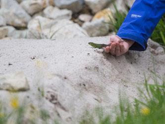 Eine Zauneidechse wird in den neuen Lebensraum geführt. Foto: Lino Mirgeler