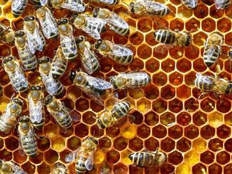 Bienen auf einer Bienenwabe. Foto: Patrick Pleul/Archiv