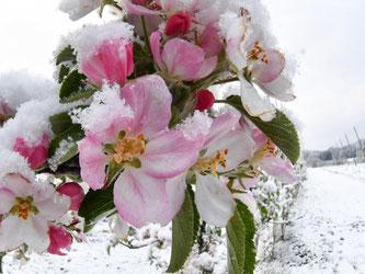 Schnee liegt auf teils geöffneten Apfelblüten. Foto: Felix Kästle/Archiv
