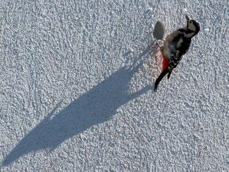 Da hat wohl jemand keinen Baum gefunden: Ein Buntspecht hackt mit seinem Schnabel ein Loch in die Fassade eines Hauses. Foto: Soeren Stache