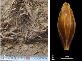 Die 6000 Jahre alten Gerstenkörnern wurden in einer Höhle in der Nähe des Toten Meeres in Israel gefunden. Foto: Uri Davidovich/Bar Ilan University