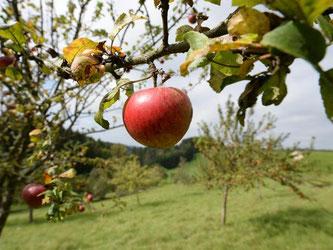 Äpfel sind auf einer Wiese mit Streuobstbäumen zu sehen. Foto: Patrick Seeger/Archiv