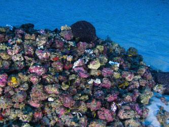 Spektakulär und einzigartig: Unterwasser-Aufnahme des Amazonas-Korallenriffs. Foto: Greenpeace