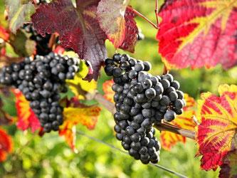 Weintrauben auf dem Köppelberg des Landesweingutes Kloster Pforta in Sachsen-Anhalt. Foto: Jan Woitas