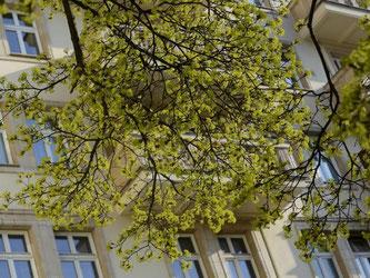 Bäume wie der Spitz-Ahorn verbreiten nun mal Pollen - Anwohner können daher in der Regel nicht verlangen, dass deswegen ein Straßenbaum gefällt wird. Foto: Andrea Warnecke