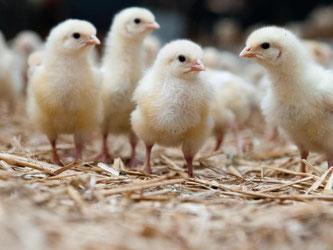 In Zukunft sollen nur noch Eier mit weiblichen Embryonen bis zum Schlüpfen bebrütet werden. Foto: Philipp Schulze