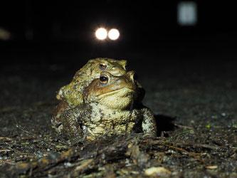 Erdkröten (Bufo bufo) bei der Wanderung, Foto: A. Herschel