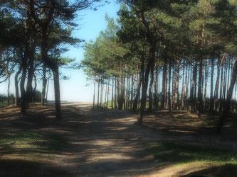 filigrane Kiefern-Wälder säumten den Strandbereich