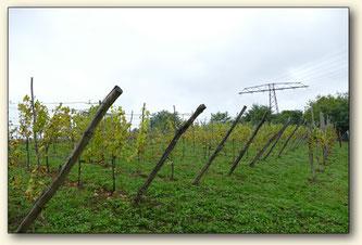 Weinberg auf der Raunoer Höhe der Senftenberger Weinfreunde e.V.