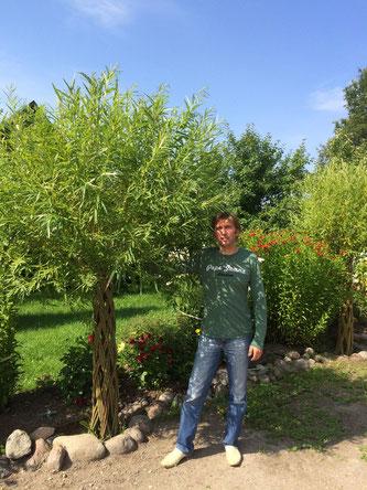 Плетеные деревья Датские корни Ива плетеная