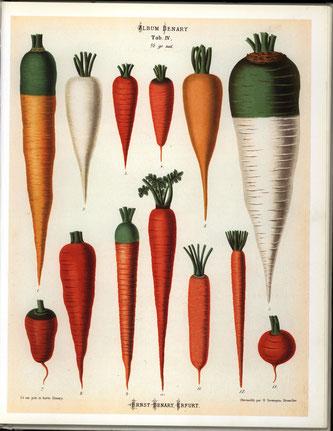 Historische Möhrensorten; Quelle: ERNST BENARY, ERFURT (1876)