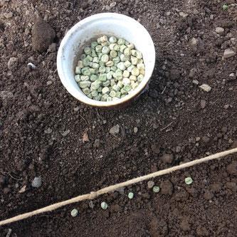 pois, graines, semis, potager
