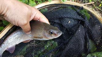Fliegenfischer-Sachsen-Äsche
