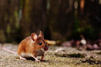 Kleine Maus mit großen Augen