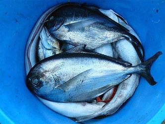 Fische in einem Eimer