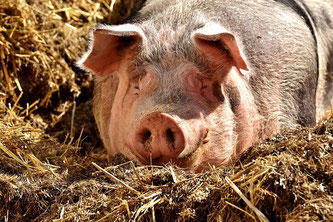 Schwein glücklich Tierwohl