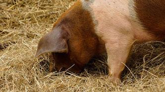 Schwein im Heu