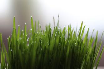 Weizengras