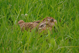 Feldhase im Gras