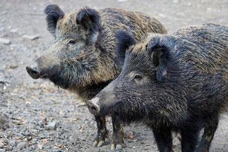 2 Wildschweine