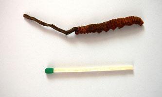 """Cordyceps sinensis"" von Nicolas Merky. Original uploader was Nicmerky at de.wikipedia - Transferred from de.wikipedia(Original text : Nicolas Merky). Lizenziert unter CC BY-SA 3.0 de über Wikimedia Commons - http://commons.wikimedia.org/wiki/File:Cordyce"