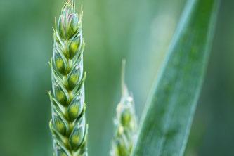 Getreide grün