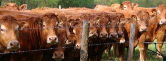 Kühe Herde