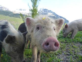 Schweine Landschaft
