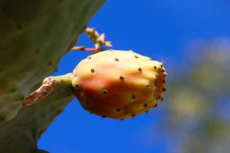 Kaktus Samen