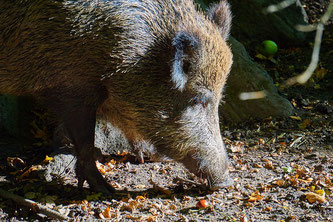 Wildschwein frisst im Wald
