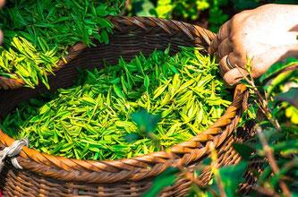Tee pflücken grün