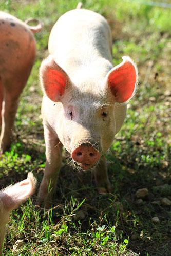 Schweine Wiese