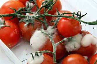 Tomaten verschimmelt