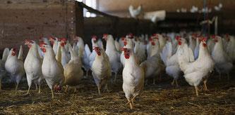 Weiße Hühner im Stall