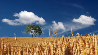Getreide Himmel blau Baum