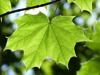 Ahornblatt Baum