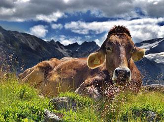 Kuh Alpen