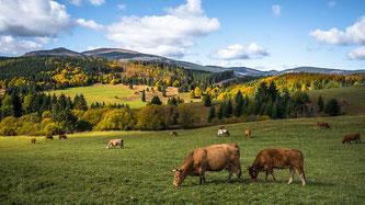 Kühe Weide Herbst