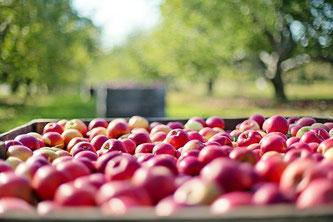 Äpfel pflücken Bäume