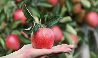 Äpfel Baum