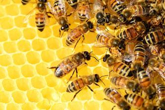 Wabe Bienen