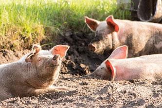 Schweine Dreck glücklich