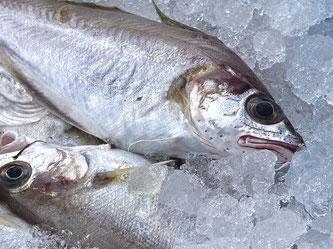 Fisch frisch Eis