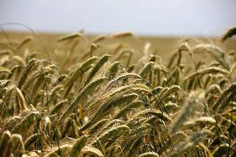 Getreide Feld Roggen