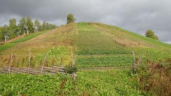 Bild: Der nördlichste Kartoffelacker der Welt