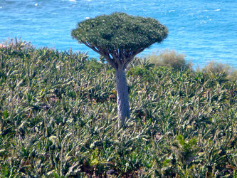 Bild: Der Drachenbaum